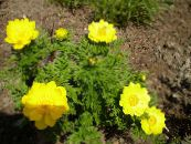 Adonis sibirica yellow