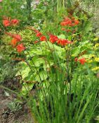 Crocosmia red