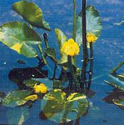Southern Spatterdock, Yellow Pond Lily, Yellow Cow Lily yellow