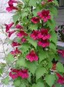 Garden Flowers Twining Snapdragon, Creeping Gloxinia, Asarina photo red