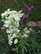 Meadowsweet, Dropwort white