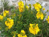 Wallflower, Cheiranthus yellow