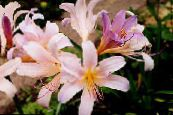 Spider Lily, Surprise Lily pink