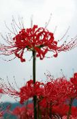 Spider Lily, Surprise Lily red