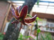 Martagon Lily, Common Turk's Cap Lily burgundy