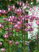 Martagon Lily, Common Turk's Cap Lily pink