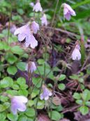 Twinflower pink