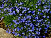 Edging Lobelia, Annual Lobelia, Trailing Lobelia blue