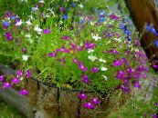 Edging Lobelia, Annual Lobelia, Trailing Lobelia purple