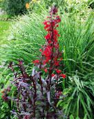 Cardinal flower, Mexican lobelia red
