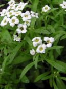Sweet Alyssum, Sweet Alison, Seaside Lobularia white