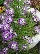 Sweet Alyssum, Sweet Alison, Seaside Lobularia lilac