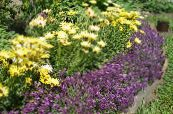 Sweet Alyssum, Sweet Alison, Seaside Lobularia purple