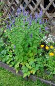 Agastache, Hybrid Anise Hyssop, Mexican Mint light blue