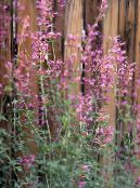 Agastache, Hybrid Anise Hyssop, Mexican Mint pink