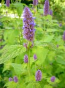 Agastache, Hybrid Anise Hyssop, Mexican Mint lilac