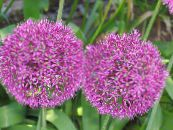 Ornamental Onion pink