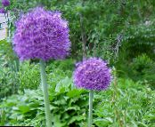 Ornamental Onion purple