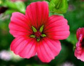 Malope red