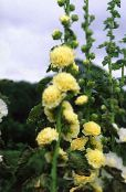 Hollyhock yellow