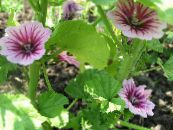 Mallow, French Hollyhock pink