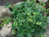 Lady's mantle green