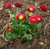 Bellis daisy, English Daisy, Lawn Daisy, Bruisewort red