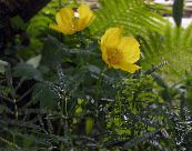 Himalayan blue poppy yellow