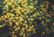 Butter Daisy, Melampodium, Gold Medallion Flower, Star Daisy yellow