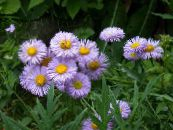 Seaside Daisy, Beach Aster, Flebane lilac