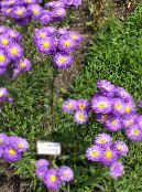 Seaside Daisy, Beach Aster, Flebane purple