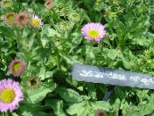 Seaside Daisy, Beach Aster, Flebane pink