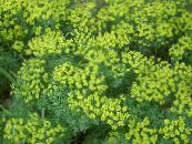 Cypress Spurge, Bonaparte's Crown, Graveyard Moss yellow