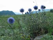 Globe thistle light blue