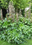 Garden Flowers Spiny bear's breeches, Acanthus photo white