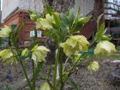 Christmas Rose, Lenten Rose yellow