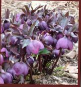 Christmas Rose, Lenten Rose purple