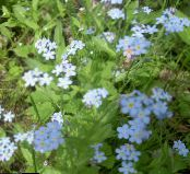 Forget-me-not light blue