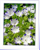 Nemophila, Baby Blue-eyes white