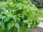 Garden Flowers Shoofly Plant, Apple of Peru, Nicandra physaloides photo light blue