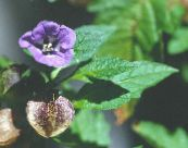 Garden Flowers Shoofly Plant, Apple of Peru, Nicandra physaloides photo purple