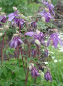 Garden Flowers Columbine flabellata, European columbine, Aquilegia photo lilac