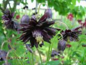 Columbine flabellata, European columbine black