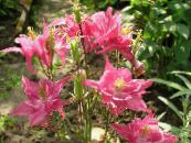 Garden Flowers Columbine flabellata, European columbine, Aquilegia photo pink