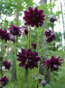 Garden Flowers Columbine flabellata, European columbine, Aquilegia photo burgundy