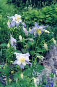 Garden Flowers Columbine flabellata, European columbine, Aquilegia photo light blue