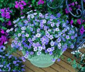 Cup Flower, Nierembergia photo light blue