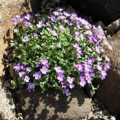 Aubrieta, Rock Cress lilac