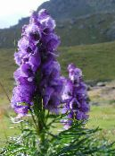 Monkshood purple