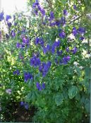 Monkshood sininen
